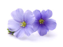 Flax flowers in closeup royalty free stock images