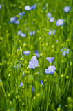 Flax flowers in the field. Flax (linum usitatissimum) is a plant used for the fabrication of linen and cloth Royalty Free Stock Images