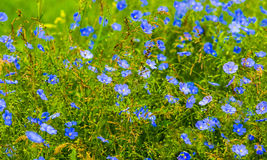 Flax flowers. A field of blue flax blossoms. Royalty Free Stock Photos