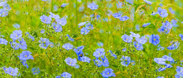 Flax flowers. A field of blue flax blossoms. Stock Image