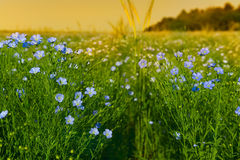 Flax flowers in the field Stock Image