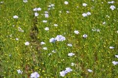Flax Flowers. Flax Field. Stock Image