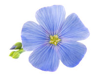 Flax flowers isolated Stock Photography