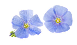 Flax flowers isolated Royalty Free Stock Photo