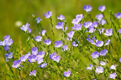 Flax flowers. On summer meadow. Blooming flax royalty free stock photos