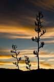 Flax Flowers at Sunset Royalty Free Stock Photo