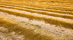 Flax harvest. The flax collected in ranks during the harvest company Royalty Free Stock Photography