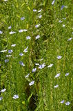 Flax or Linseed (Linum usitatissimum) Royalty Free Stock Photo
