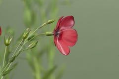 Flax (Linum grandiflorum) flowers Stock Photo