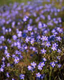 Flax (Linum lewisii) Stock Photos