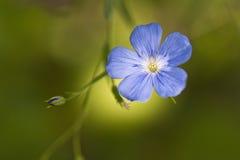 Flax,  Linum usitatissimum Stock Images