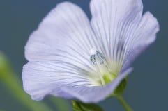 Flax (Linum usitatissimum) flowers Royalty Free Stock Photo