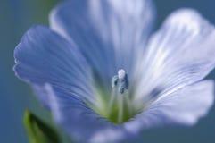 Flax (Linum usitatissimum) flowers Royalty Free Stock Photos