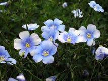 Flax (Linum usitatissimum) Royalty Free Stock Image