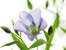 Flax Royalty Free Stock Photo