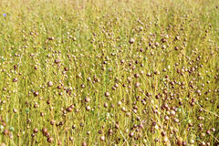 Flax plant, field in summer August. Stock Photography