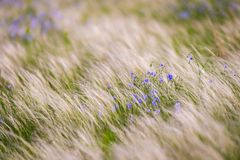 Free Flax Plant On Field In Wild Nature Royalty Free Stock Photos - 155859818