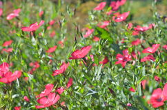 The flax plant. pink flowers. In the garden Stock Images