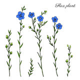 Flax plant, wild field flower isolated on white, botanical hand drawn sketch vector doodle colorful illustration, art. For design package organic cosmetic Stock Photography