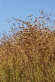Flax Seed - Linen. Close-up of the flax plant and butterfly kandıra/kocaeli/turkey Stock Image