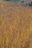 Flax Seed - Linen Royalty Free Stock Photo