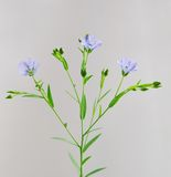 Flax  twig with flowers and buds closeup Royalty Free Stock Images