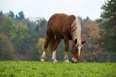 Flaxen Chestnut Horse in a Fall Field III. A flaxen chestnut horse grazes in a Fall field Stock Photo