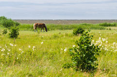 Flaxen chestnut horse grazing on windy field by the sea. Rural landscape Stock Photos