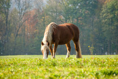 Flaxen kastanjebrun häst i ett nedgångfält II Arkivbild