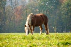 Flaxen Kastanjepaard op een Dalingsgebied II Stock Fotografie
