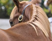 Flaxen Mane. A gorgeous chestnut yearling with a glowing flaxen mane, photographed from behind as the thoroughbred turns his head to acknowledge , `I see you` stock photography