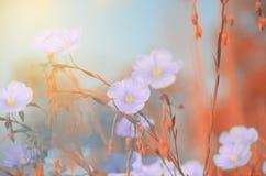 flaxLinum精美蓝色花在软的被弄脏的背景的 库存图片