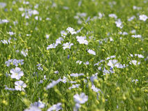 Flaxseed Crop (Linum usitatissimum). Flaxseed crop in full flower (the ripe seeds are used to make linseed oil Royalty Free Stock Image