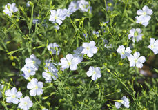 Flaxseed flowers (Linum usitatissimum). Royalty Free Stock Images