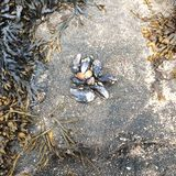 Live mussels, sand, and seaweed from the ocean side royalty free stock photography