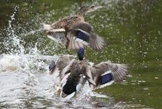 Flaying ducks. Two ducks flaying and fighting Stock Photography