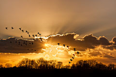 Flaying geese at dramatic sunset Royalty Free Stock Photo