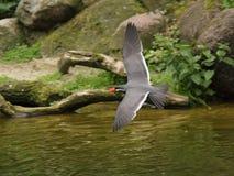 Flaying Inca tern. Inca tern (Larosterna inca) flaying over water Royalty Free Stock Image