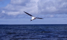 Flaying seagull. In Baltic sea Stock Images