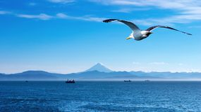 Flaying seagull. Blue sky, ocean and flaying seagull Stock Photo