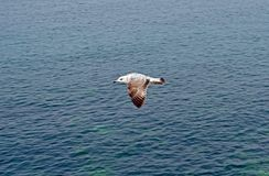 The Flaying seagull. Gull in the air above the water Royalty Free Stock Image
