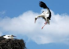 Flaying stork over nest. With cloud in background Royalty Free Stock Images