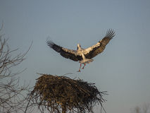 Flaying stork over nest Stock Photo