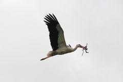 Flaying white stork Royalty Free Stock Images