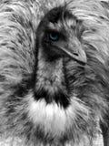 Flüchtiger Blick von Emu. Stockfotografie