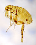 Flea. Photographed with use of the polarizing filter by means of a microscope royalty free stock photo