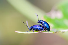 Flea beetle. (Phyllotreta chontanica) are mating royalty free stock image