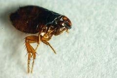 Flea or Human Flea - Pulex irritans on a white background. Flea cat`s parasite close-up macro royalty free stock image