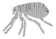 Flea of the domestic dog or cat. Vector illustration of the domestic dog flea, with its spiky little legs and gripping parts Stock Images
