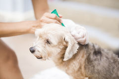Flea prevention for a dog Royalty Free Stock Image